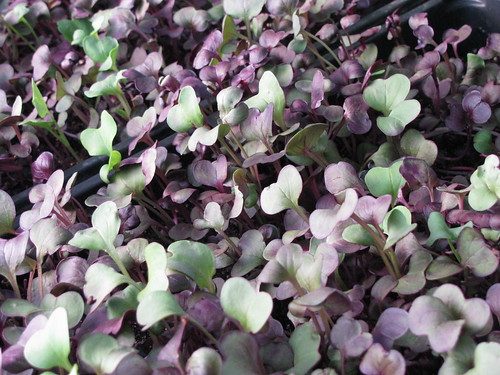 Microgreens grown by John Biscoe.  Farmers markets are the missing link between John and the people who eat the food he grows.