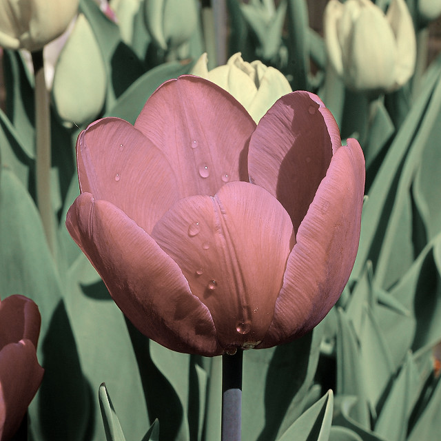 Missouri Botanical Garden (Shaw's Garden), in Saint Louis, Missouri, USA - purplish tulip
