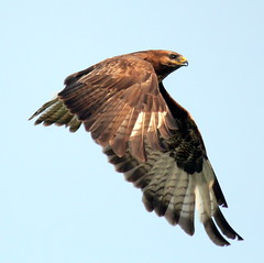 Majestic (Ger Bosma) Tags: bird dutch flying wings europe european wildlife flight thenetherlands birdsinflight buzzard soaring bif birdinflight buteo buizerd wow1 wow2 wow3 buse flyingbird musebussard ratonerocomn busevariable busardoratonero img16254 doublyniceshot poianacomune mygearandme mygearandmepremium mygearandmebronze mygearandmesilver mygearandmegold mygearandmeplatinum mygearandmediamond dblringexcellence tplringexcellence exitnpog exitsoe exitfgpd aguilaratonero exitfbsg