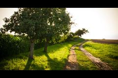 apple tree in the summerwind (Stefan Lorse) Tags: summer sun tree apple nature field germany way deutschland corn mud sommer saxony natur feld mais sachsen sonne baum apfel appletree weg apfelbaum ernte schlamm canoneos50d sigma2470mmf28dgexmacro