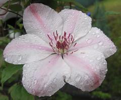 Clematis mit Regentropfen (Horus3) Tags: flower clematis blume