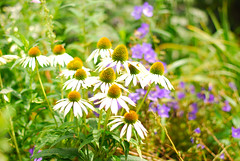 Glorious Summer (Bonbon Macherei) Tags: summer flower echinacea blueribbonwinner flickrdiamond nikonflickraward