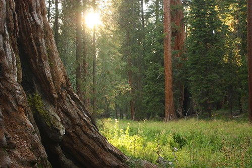 Sunlight in Mariposa Grove