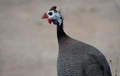 Guineafowl (Matthew Kenwrick) Tags: bird coffee canon farm feathers australia september sharp queensland guineafowl 70200mmf4 mareeba