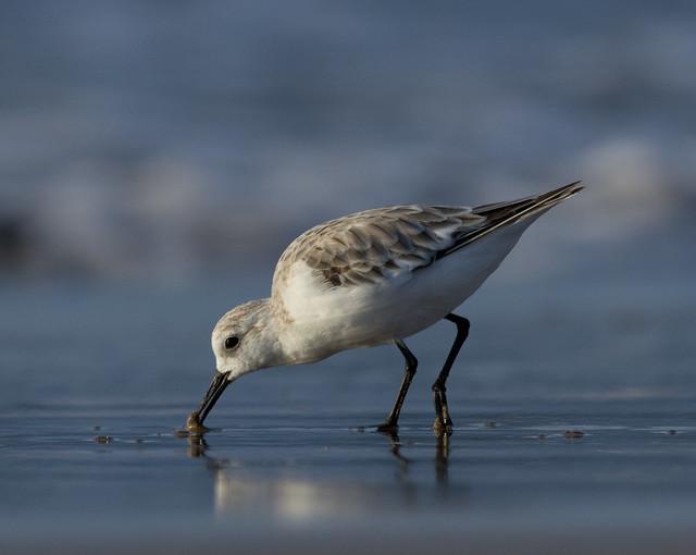 sanderling 3