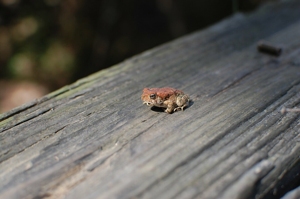 Tennessee Toad Frog