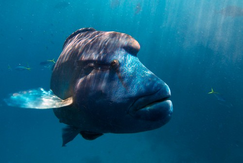 A close up of the impressive head and mouth of the Humphead Maori Wrasse