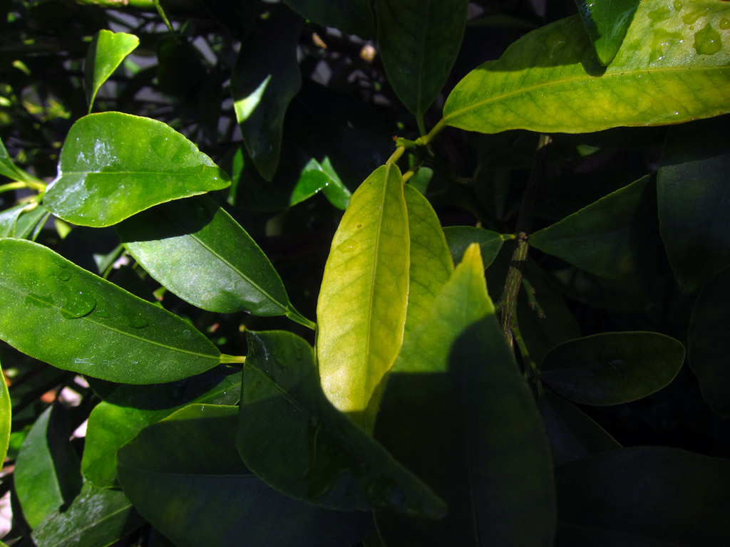 Brand-new Please help identify cause of yellowing leaves on kumquat tree HR84