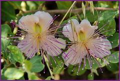 Langs de weg,ietwatpaarse bloem (DirkVandeVelde back in October) Tags: flowers bloemen