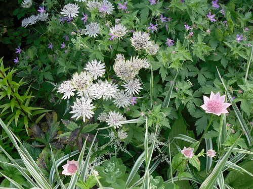 astrantia again