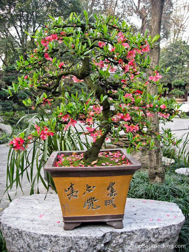 Bonsai Tree at Du Fu's Cottage