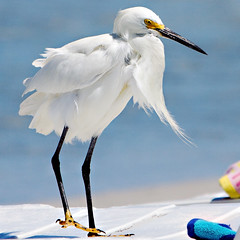 Snowy Egret.  The Professor. (BruceLorenz) Tags: blue gulfofmexico water florida indianrocksbeach snowyegret egrettathula img4695cmkxp30lum20mscrpnoise