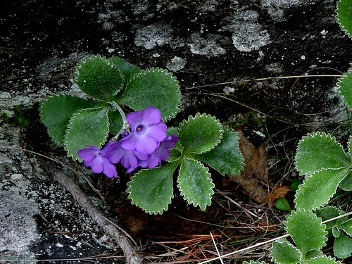 Primevère marginée=Primula marginata - Sampeyre 086