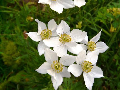 Anémone à fleurs de narciseSampeyre 130