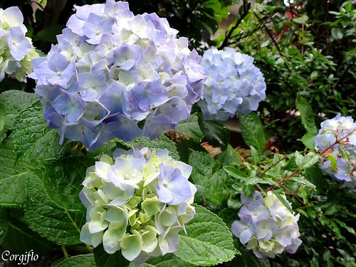 blog-110712-HORTENSIAS-3
