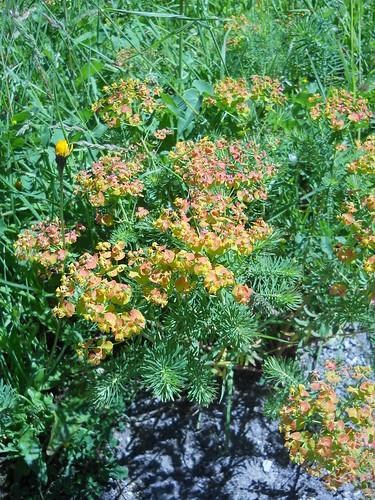 Spurge (Euphorbium sp.)