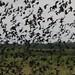 Muitos pássaros juntos...