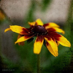 Day 193 Rudbekia Aurora eDition (~Helen Cat) Tags: dof july theme day193 htt rudbekia herewegoagain nearlygone 365project 193365 texturetuesday 120711 odc2 kimklasson 2011inphotos