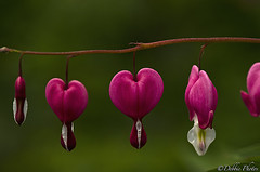 Bleeding Hearts (D. Photos) Tags: pink flower green nature stem brooklynbotanicgarden macrophotography bleedinghearts nikon105mmlens brooklynbotanicgardenflower brooklynbotanicgardenflowers bleedingheartsflower brooklynbotanicgardenmacrophotography brooklynbotanicgardennature brooklynbotanicgardenbleedingheartsflowers