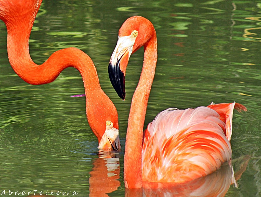 the world s best photos of caribe and flamingo flickr hive mind