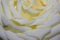 Uma rosa para vós amigos!:) (Zéza Lemos) Tags: flores portugal water rose água canon flor rosa jardim amizade algarve capture rosas amistad vilamoura