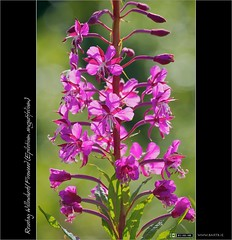 Back-lit Fireweed (bbusschots) Tags: ireland flower macro backlit wildflower fireweed willowherb kildare epilobium epilobiumangustifolium rosebaywillowherb kilcock