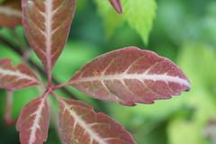 Parthenocissus henryana - Vitaceae (vanaspati1) Tags: vitaceae parthenocissus henryana