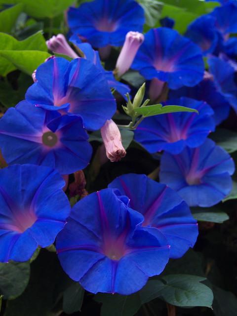 懸花科的花