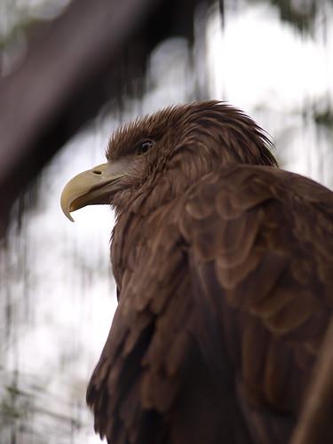 上野動物園 オジロワシ