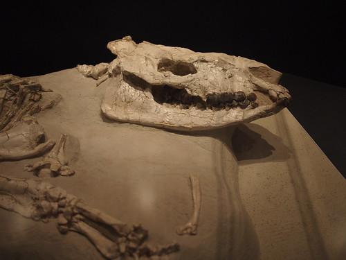 大哺乳類展 化石