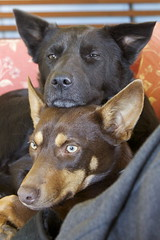dogs on the couch (cskk) Tags: red brown black dogs puppy tan couch sleepy mocha kira snuggly kelpie kelpiex