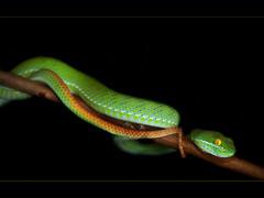 Large Eyed Bamboo Pitviper (Cryptelytrops Macrops) (gue