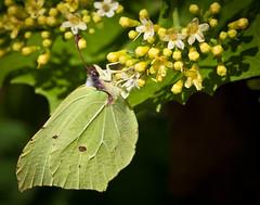 Brimstone (Tom Bech) Tags: flowers flower yellow butterfly common gul brimstone sommerfugl sitronsommerfugl commonbrimstone