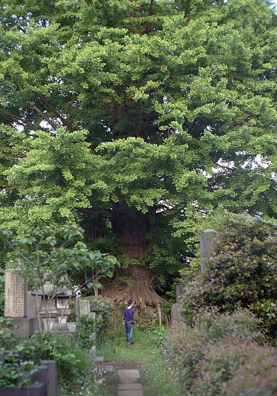 谷中墓地で巨木と嫁