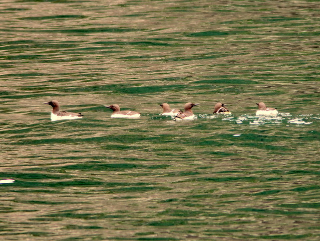 Common Murres 20110625