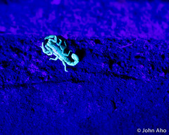 DSC_1282.jpg (John Aho) Tags: glow uv scorpion ultraviolet barkscorpion boycethompsonarboretum bta superioraz