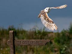 Barn Owl 1 (Bend The Light) Tags: light portrait bird water birds barn swimming turkey