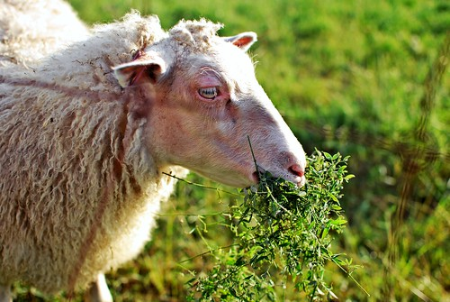 sheep11a