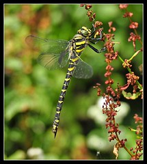 Common hawker (view large) (Chris the lonetraveller) Tags: dragonflies hawkers damselflies chasers darters