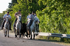 Bandido  Valergues, 24/07/2011 (kat's here) Tags: horses cheval bandido chevaux gardians valergues