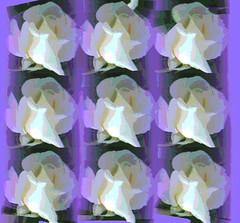 Nine White Roses by randubnick