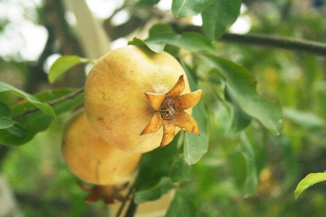 City Nature – Pomegranate Tree, Nizamuddin Chilla