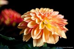 Orange Dahlia (Thelma Gatuzzo) Tags: dahlia light stilllife flower nature fleur petals bokeh natureza ngc flor fiore onblack dlia fantasticflower thelmagatuzzo