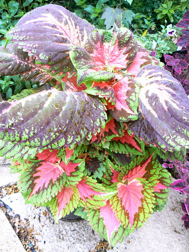Coleus by ann-s-thesia