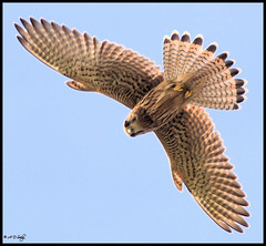 Kestrel (Grasping-air) Tags: kestrel tinnunculus falco thewonderfulworldofbirds