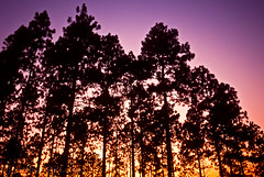 963FB (JonathanNutt) Tags: usa forest louisiana dusk hiking assignment photojournalism nationalforest commercial editorial publiclands sunsetsunrise stockphoto photoillustration fineartphotography stockphotography blueandgold nativeplant scenicb
