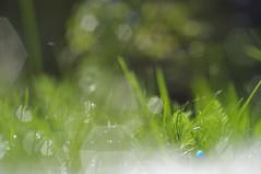(c-or^^) Tags: green nature grass bokeh gras grn rasen outofcam asahismcpentaxm1250mm pentaxkr perlsofdrew mybabylens