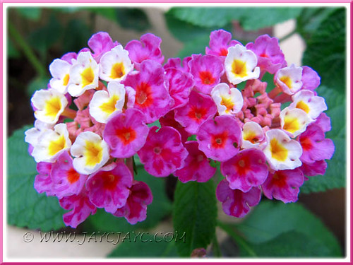 Lantana camara (Spanish Flag, Shrub Verbena) with rose pink and creamy white flowers, July 13 2011