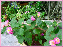 Potted Lantana camara and other bedded plants in the background