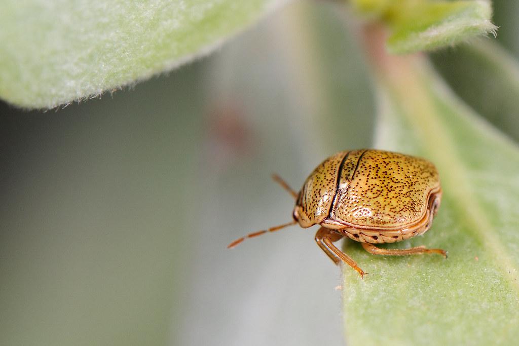篩豆龜椿 Megacopta cribraria